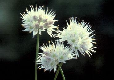 Allium saxatle