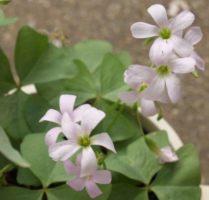 Oxalis triangularis ssp papilionacea Birgit