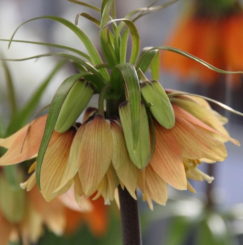 Fritillaria imperialis Early Fantasy ®