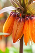 Fritillaria imperialis Sunset ®
