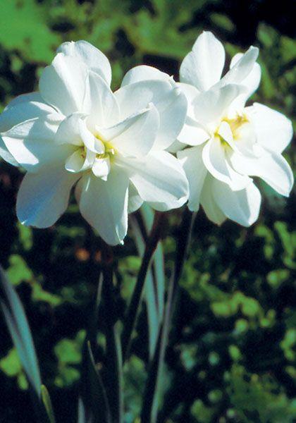 Narcissus Albus Plenus Odoratus