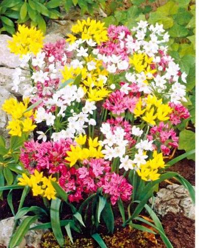 Allium gemengd