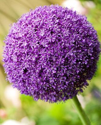 Allium Ambassador ®