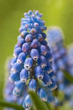 Muscari armeniacum Atlantic ®