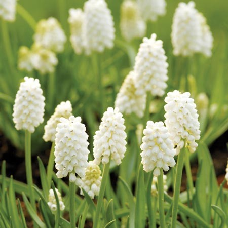 Muscari aucheri White Beauty