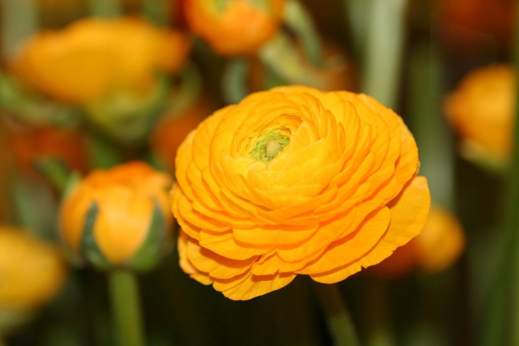 Ranunculus asiaticus Aviv oranje