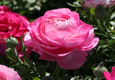 Ranunculus asiaticus Aviv roze Hollands