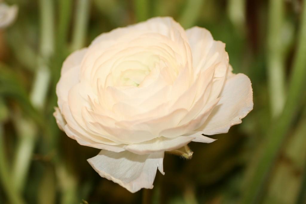 Ranunculus asiaticus Aviv wit