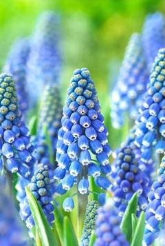 Muscari armeniacum Big Smile ®