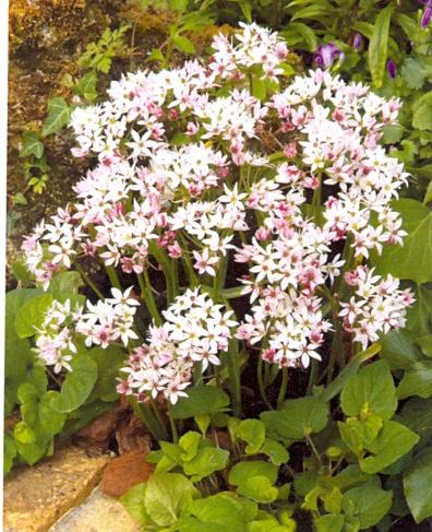 Allium Cameleon ®