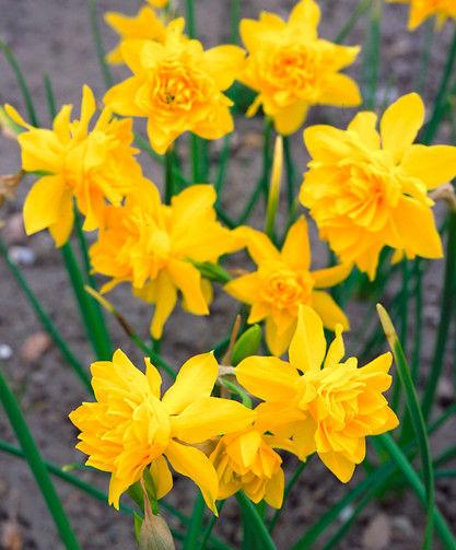 Narcissus Campernellen dubbel (odorus-plena)