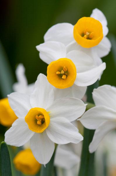 Narcissus Canaliculatis