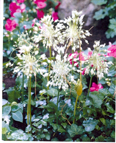 Allium carinatum album ssp pulchellum Album
