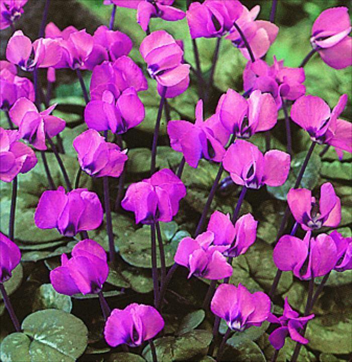 Cyclamen coum hybriden