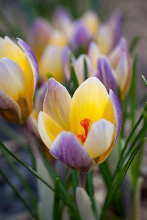 Crocus chrysanthus Advance
