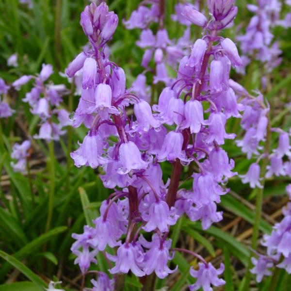 Hyacinthoides hispanica Dainty Maid