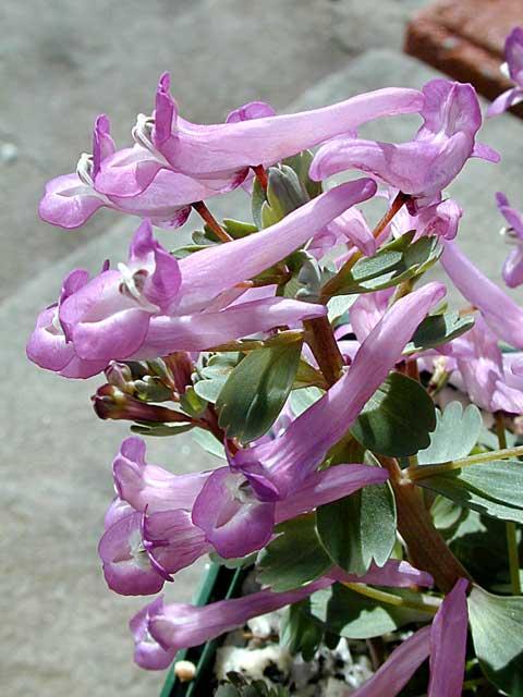 Corydalis decipiens