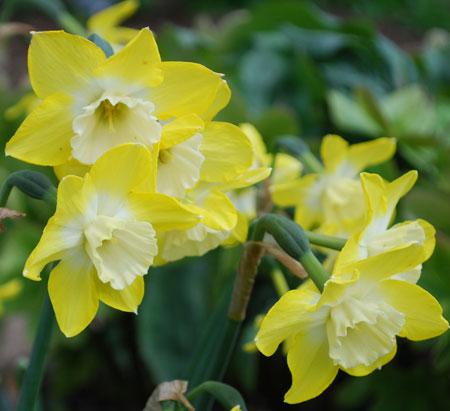 Narcissus Dicksissel