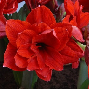 Amaryllis Double Delicious ®