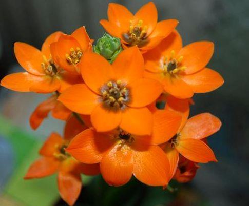 Ornithogalum dubium oranje