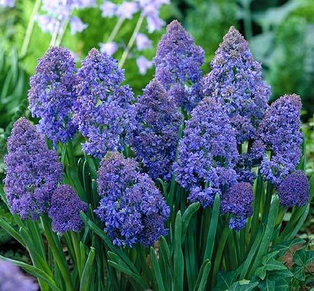 Muscari armeniacum Fantasy Creation ®