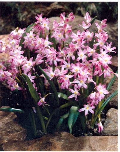 Chionodoxa forbesii Pink Giant