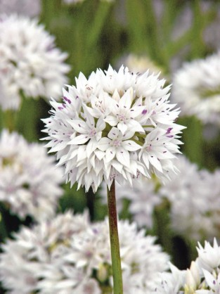 Allium amplectens Graceful Beauty ®