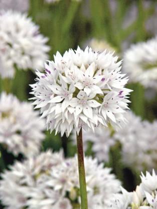 Allium amplectens Graceful Beauty ®