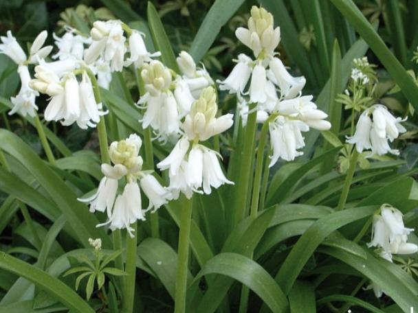 Hyacinthoides hispanica White City
