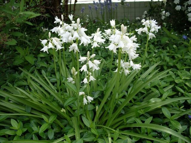 Hyacinthoides hispanica wit