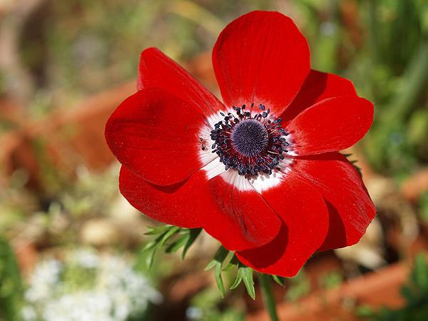Anemone coronaria Hollandia