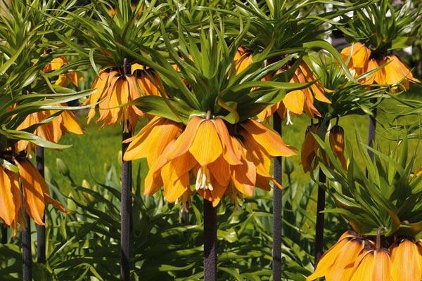 Fritillaria imperialis Premier