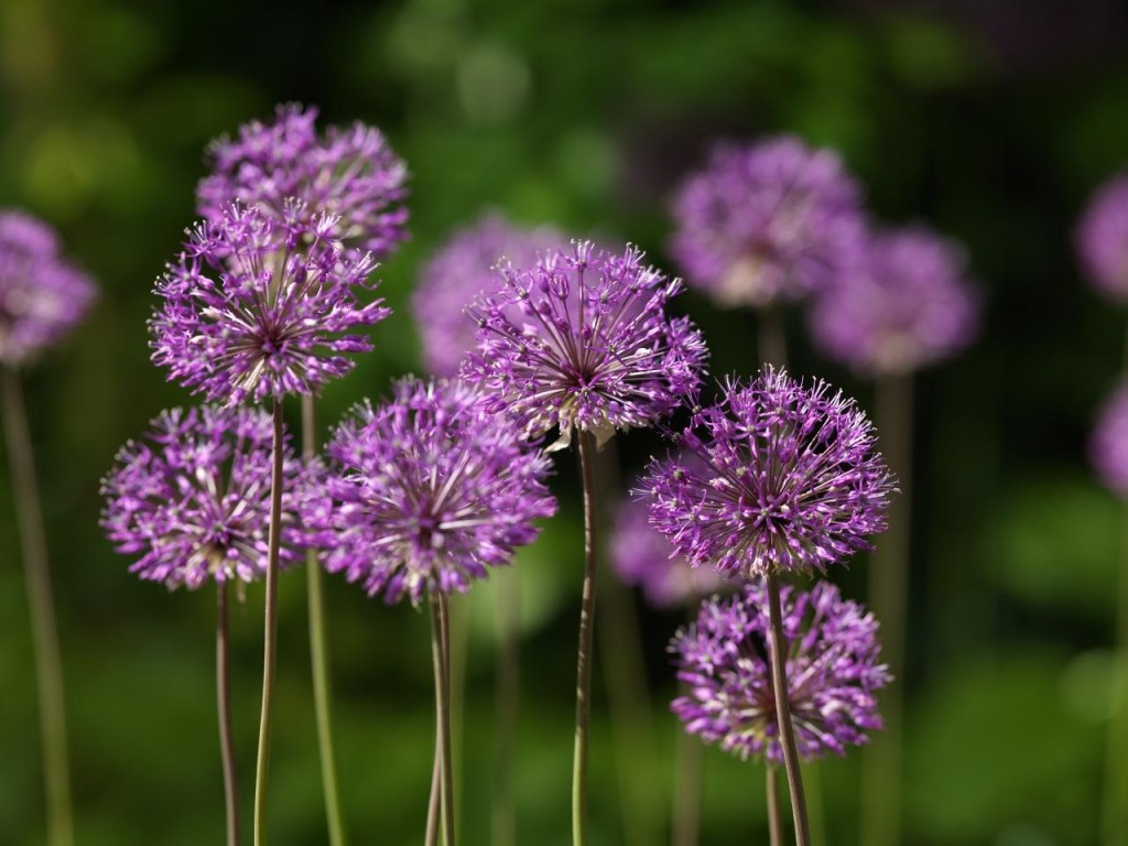 Allium jesdianum Purple King
