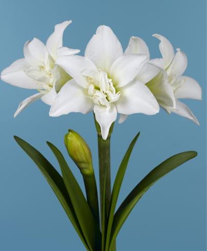 Amaryllis Jewel ®