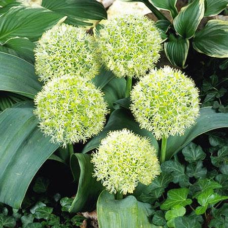 Allium karataviense Ivory Queen ®