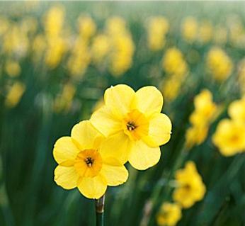 Narcissus Kokopelli