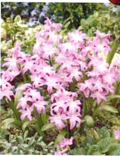 Chionodoxa luciliae Violet Beauty ®