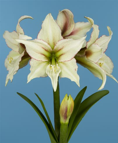 Amaryllis Magic Green ®