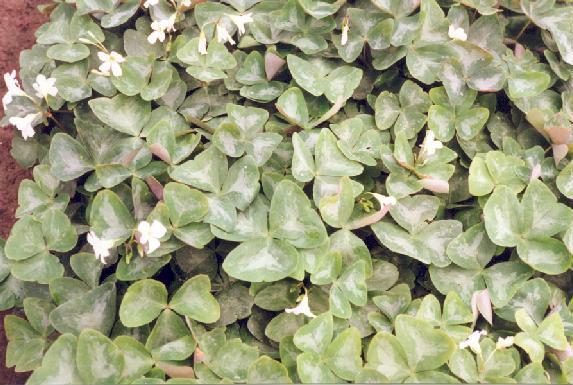Oxalis triangularis ssp papilionacea Marmer