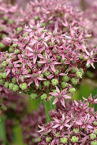 Allium Mercurius ®