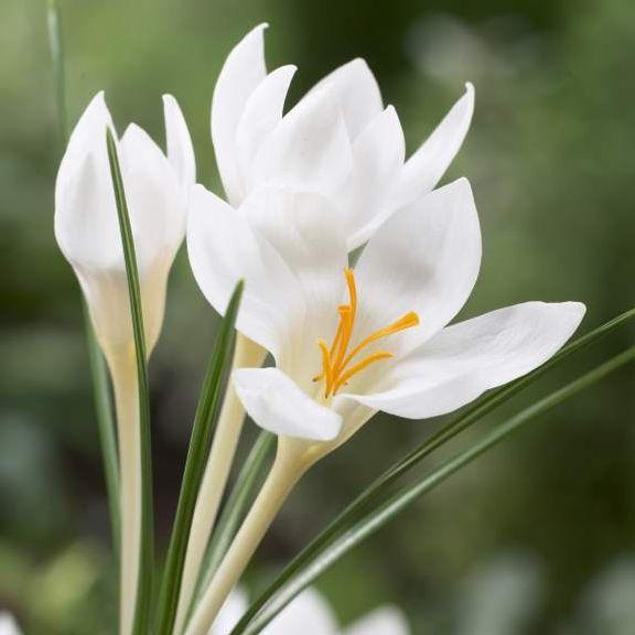 Crocus chrysanthus Miss Vain