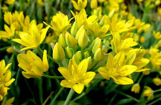 Allium moly (syn. All. Luteum)
