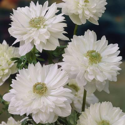 Anemone coronaria Mount Everest