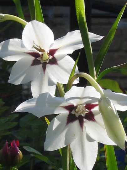Acidanthera callianthus Murielae