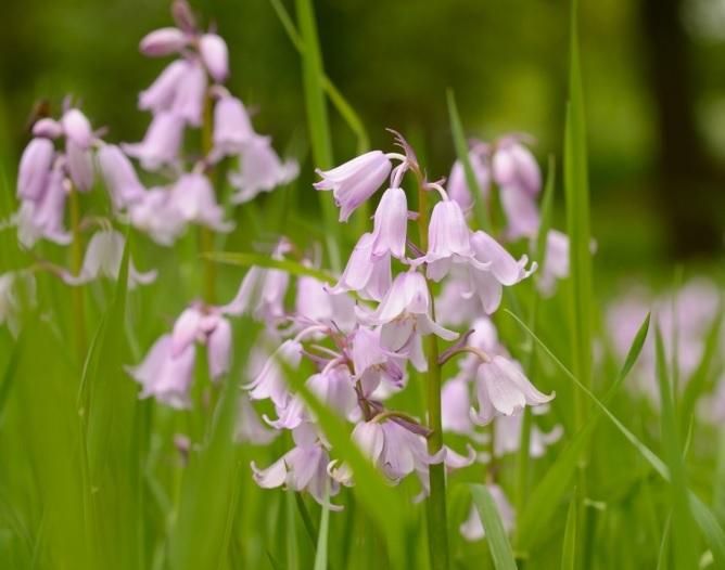Hyacinthoides non scripta roze: (syn Scilla nutans)