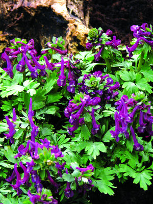 Corydalis solida Purple Bird