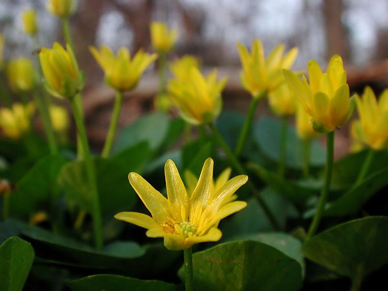 Ranunculus asiatucus Ficaria Verna