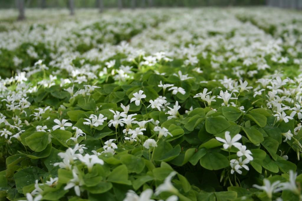 Oxalis triangularis ssp papilionacea