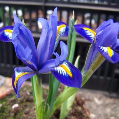 Iris reticulata Edward