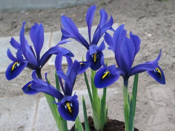 Iris reticulata Palm Springs